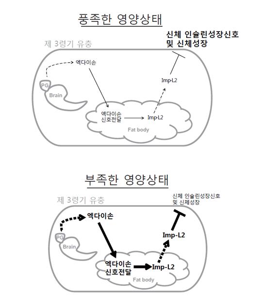 영양상태에 따른 초파리 유충의 성장 조절 기전 모델.png